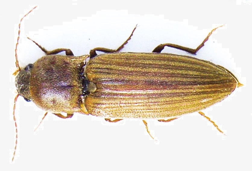 Agriotes lineatus bl2