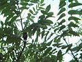 Ailanthusbark002.jpg