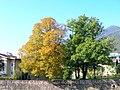 Albero giallo albero verde - panoramio.jpg
