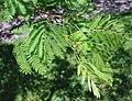 Albizia julibrissin foliage.jpg