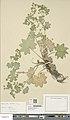 Alchemilla acutiloba herbarium (05).jpg