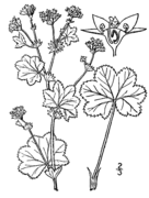 Alchemilla monticola drawing.png