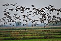 Aleutian and snow geese at San Joaquin National Wildlife Refuge (37866270785).jpg