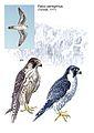 Alexander Genov Falco peregrinus.jpg