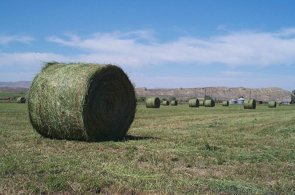 Alfalfa round bales
