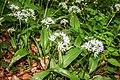 Allium Ursinum. Route du Crêt des Roches. (2).jpg