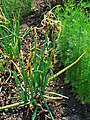 Allium cepa viviparum 001.JPG