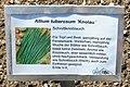 Allium tuberosum Knolau.jpg