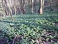 Allium ursinum sl6.jpg