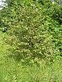 Alnus incana agelastica alni 1 beentree.jpg