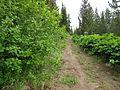 Alnus viridis (7933757338).jpg