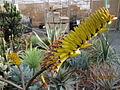 Aloe (4508486739).jpg