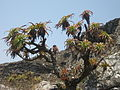 Aloe arborescens - Chimanimani 3 (10238246015).jpg