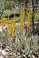Aloe vera Bitter Aloe ნამდვილი ალოე (2).JPG