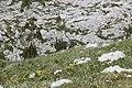 Alpine Marmot - Marmota marmota (14508570453).jpg