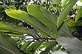 Alpinia purpurata 32zz.jpg