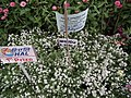 Alyssum or Lobularia maritima from Lalbagh flower show Aug 2013 8190.JPG