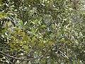 Alzina amb papallona Limenitis reducta prop del portell de Valldaura P1240299.JPG