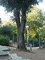 Alzina de Can Sentmenat P1510560.jpg