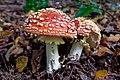 Amanita muscaria (43315797170).jpg
