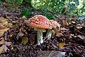 Amanita muscaria (45080253612).jpg