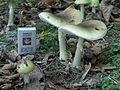 Amanita phalloides adult.jpg