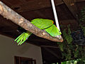 Amazona auropalliata -Macaw Mountain Bird Park -8b.jpg