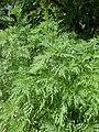 Ambrosia artemisiifolia kz03.jpg