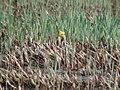Amelanistic Yellow-headed Blackbird (male), Bowdoin NWR, MT, May 30, 2003 (6690624571).jpg