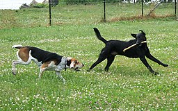 American Foxhound and Labrador Retriever playing