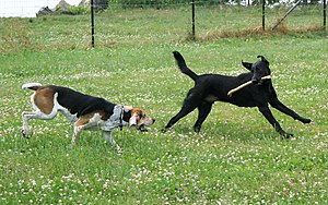 Dog behavior - Two dogs playing follow the leader.