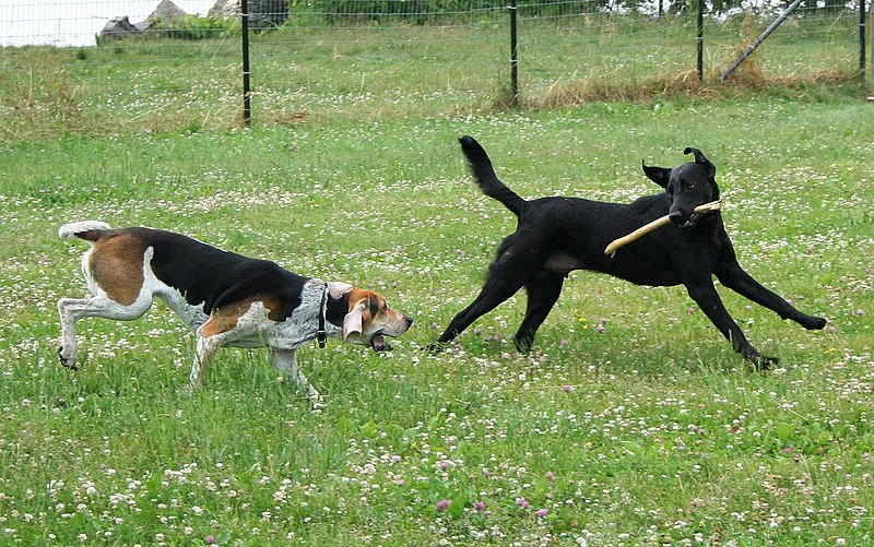 File:American Foxhound and Labrador Retriever playing.jpg