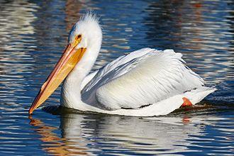American white pelican - Non-breeding adult wintering in California