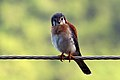American kestrel (Falco sparverius).jpg