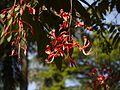 Amherstia nobilis (5432787125).jpg