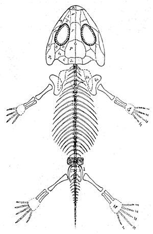 Amphibamus - Image: Amphibamus