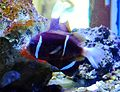 Amphiprion akindynos, acuario.jpg