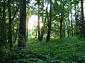 An Idyllic Woodland Evening - panoramio.jpg