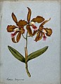 An orchid (Cattleya Duboysoniana); flowering stem. Watercolo Wellcome V0043267.jpg
