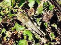 Anacridium aegyptium. Male - Flickr - gailhampshire (1).jpg