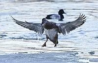 Anas strepera f Humber Bay Toronto landing.jpg