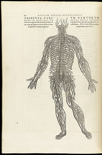 Medical Renaissance - Illustration of the structure of the nervous system from De Humani Corporis Fabrica by Vesalius