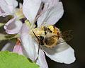 Andrena melittoides female 4.jpg