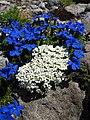 Androsace alpina Gentiana bavarica subsp subacaulis.jpg