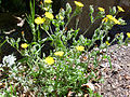 Andryala integrifolia Habito 2010-6-06 SierraMadrona.jpg