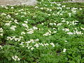 Anemone narcissiflora in Mount Tsubakuro add 2002-07-27.jpg