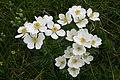 Anemone narcissifolia, Chasseron - img 13270.jpg