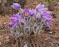 Anemone pulsatilla subsp. grandis ÖBG Bayreuth.jpg