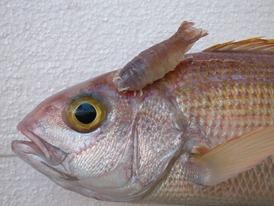 Fish Parasites >> Fish Disease And Parasites Wikipedia