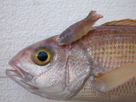 Isopod parasite, Anilocra gigantea, attached to a snapper, Pristipomoides filamentosus [8] - Fish diseases and parasites